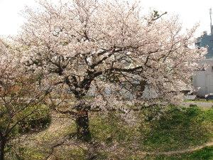 Sakura0703012