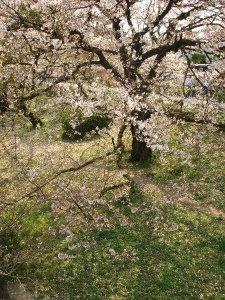 Sakura0703013