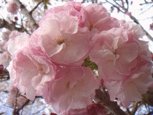 Sakura0703017